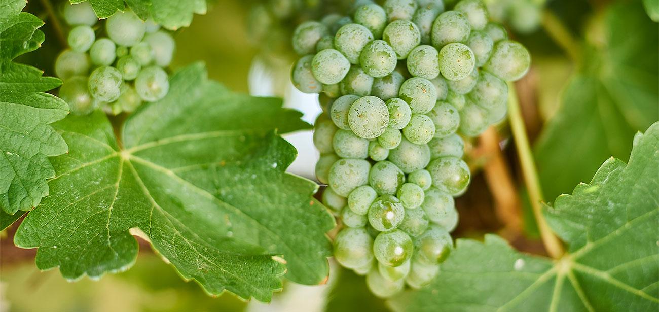 Sauvignon Blanc – Cool-climate classic | Wine Australia