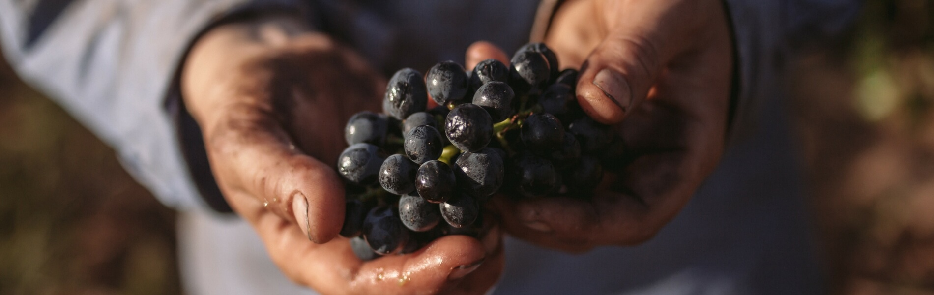 Image of a bunch of Shiraz grapes